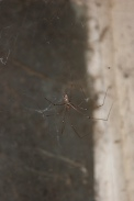 Pholcus-phalangioides-11-08-2009-2046
