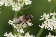 Cheilosia-illustrata-30-08-2013-8302