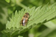 Eristalis-abusiva-15-05-2011-8001