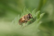 Eristalis-abusiva-15-05-2011-8021