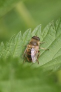 Eristalis-abusiva-15-05-2011-8028