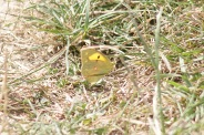 Colias-hyale-07-08-2013-7838