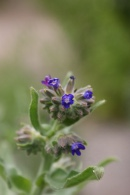 Anchusa-officinalis-06-06-2009-4058