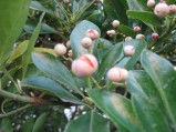 Euonymus-japonicus-24-10-2008-4571