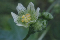 Bryonia-dioica-27-05-2009-2618