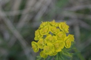 Euphorbia-cyparissias-18-04-2011-7139