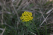 Euphorbia-cyparissias-18-04-2011-7145