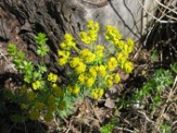 Euphorbia-cyparissias-24-04-2009-5309
