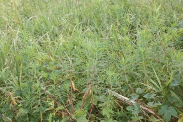 Euphorbia-palustris-15-07-2011-2450