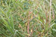 Euphorbia-palustris-15-07-2011-2454