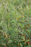 Euphorbia-palustris-15-07-2011-2457