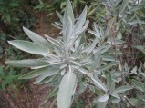 Salvia-officinalis-13-09-2008-024
