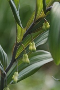Polygonatum-multiflorum-27-04-2010-7377