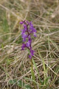 Orchis-mascula-01-05-2010-7550
