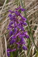 Orchis-mascula-01-05-2010-7567