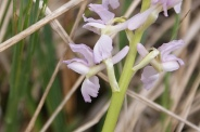 Orchis-provincialis-01-05-2010-7570