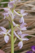 Orchis-provincialis-01-05-2010-7574