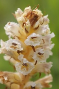 Orobanche-minor-20-06-2009-5486