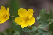 Caltha-palustris-13-04-2010-6820