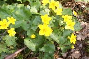Caltha-palustris-13-04-2010-6946