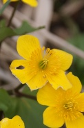 Caltha-palustris-13-04-2010-6950