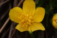Caltha-palustris-18-04-2012-6077