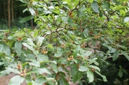 Mespilus-germanica-06-06-2009-3978