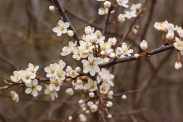 Prunus-spinosa-07-04-2010-6476