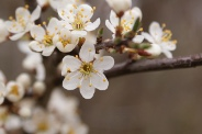 Prunus-spinosa-07-04-2010-6479