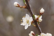 Prunus-spinosa-07-04-2010-6482