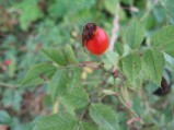 Rosa-canina-fruits-03-09-2008-4168