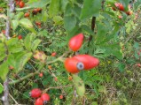 Rosa-canina-fruits-03-09-2008-4170