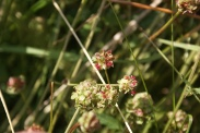 Sanguisorba-minor-24-06-2009-5864