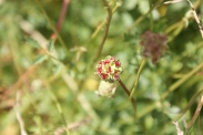 Sanguisorba-minor-24-06-2009-5870