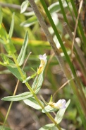 Gratiola-officinalis-15-06-2011-9751