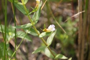 Gratiola-officinalis-15-06-2011-9766