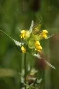 Rhinanthus-minor-05-06-2010-9287
