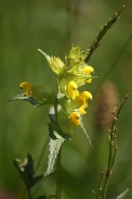 Rhinanthus-minor-05-06-2010-9291
