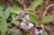 Veronica-officinalis-21-08-2011-4819