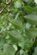 Ulmus-minor-18-06-2009-5159