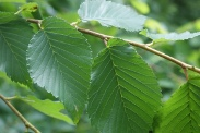 Ulmus-minor-18-06-2009-5161