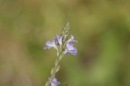 Verbena-officinalis-18-07-2009-0479