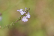 Verbena-officinalis-18-07-2009-0480