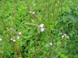 Verbena-officinalis-2